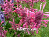 Agastache 'Red Fortune'