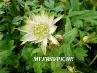 Astrantia major 'Princesse Sturdza'