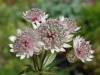Astrantia major 'Rosensinfonie'