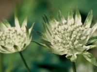 Astrantia major 'Shaggy'