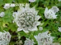 Astrantia major 'Snowstar'