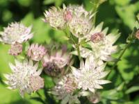 Astrantia major 'Star of Royals'