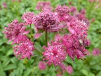 Astrantia major 'Washfield'