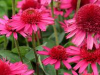 Echinacea purp. 'Delicious Candy'
