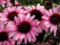 Echinacea purp. 'Satin Nights'