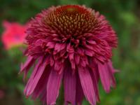 Echinacea purp. 'Secret Affair'