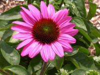 Echinacea purp. 'The King'