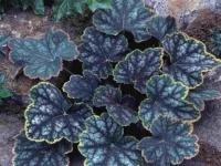 Heuchera 'Beauty Color'