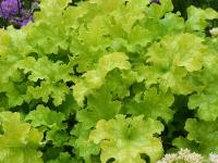 Heuchera 'Lime Ricky'