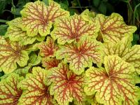 Heuchera 'Red Lightning' PBR