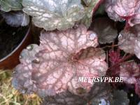 Heuchera 'Rose Majestee'