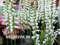 Spiranthes cernua 'Chadd's Ford'