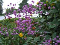 Thalictrum del. 'Hewitt's Double'