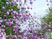 Thalictrum del. 'Splendide'